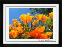 Click on the Poppies for more Floral Photos